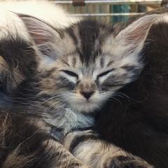 Oh hai fwuffy cutie pie! #cat #catsofdoha #doha #qatargram #kitten #souqwaqif