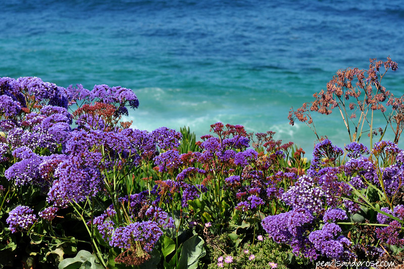 sea_lavender_web