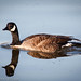 Canada Goose by jwfuqua-photography