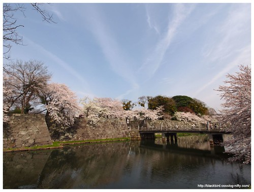 Cherry blossoms 20140407 #02