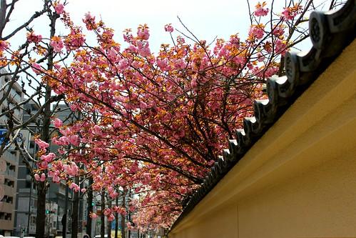 蓮興寺の八重桜(2014.4.11)