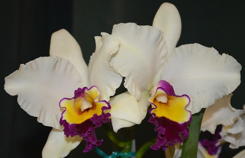 Cattleya Magic Melody
