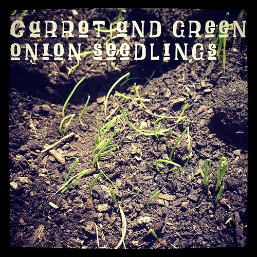 Carrot and green onion seedlings emerging In the container garden | A Gardener's Notebook