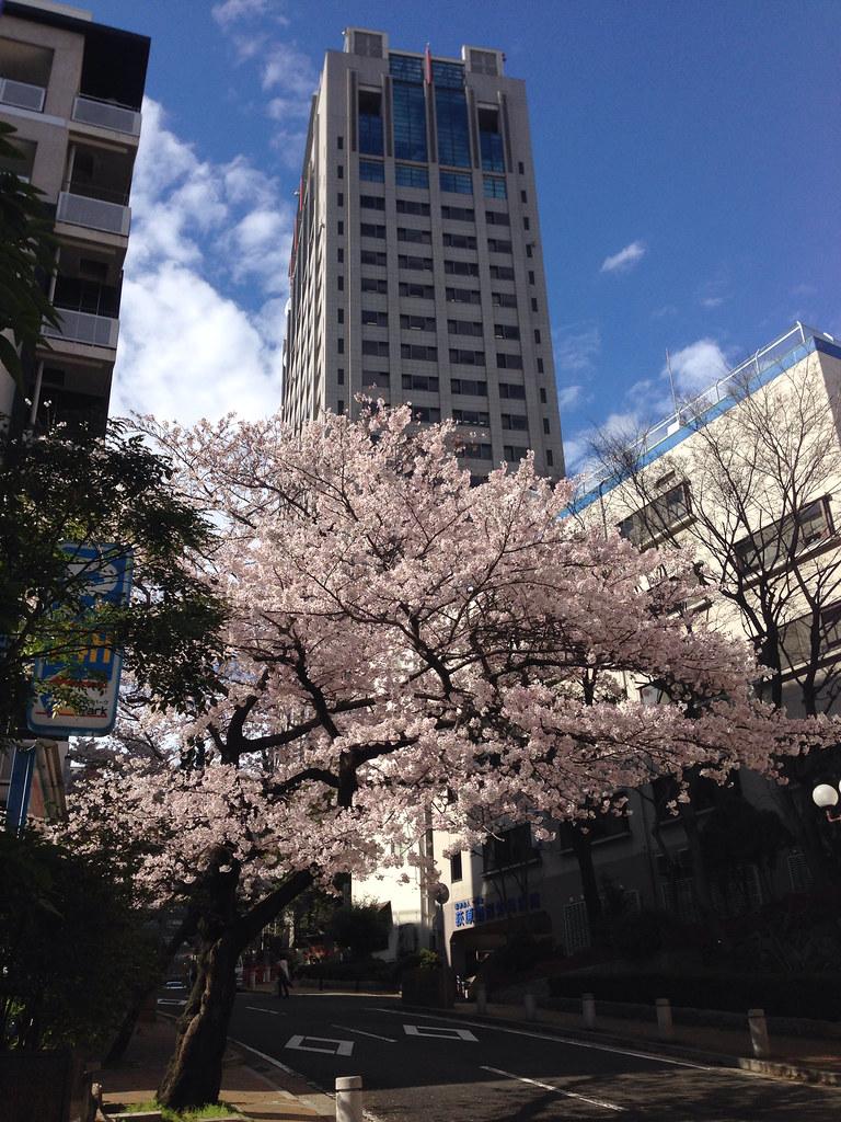 花隈イッポン桜