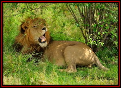 KING OF THE JUNGLE (Panthera leo)....MASAI MARA......OCT,2013