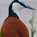 Small photo of African Jacana, Actophilornis africanus