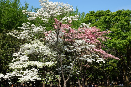 pink & white dogwood