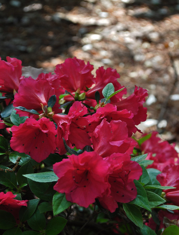 Rhododendron 'A78-8-11' (1)