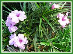 Ruellia brittoniana 'Bonita' or 'Colobe Pink', a dwarf variety - April 22 2014