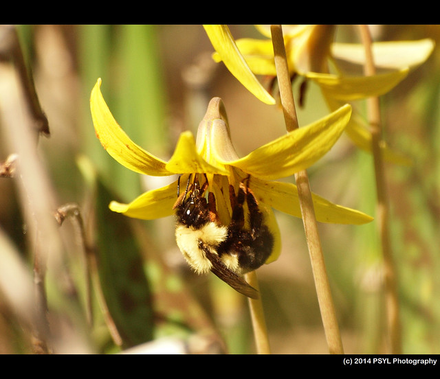 Trout Lily (Erythronium americanum) visited by Common Eastern Bumble Bee (Bombus impatiens)