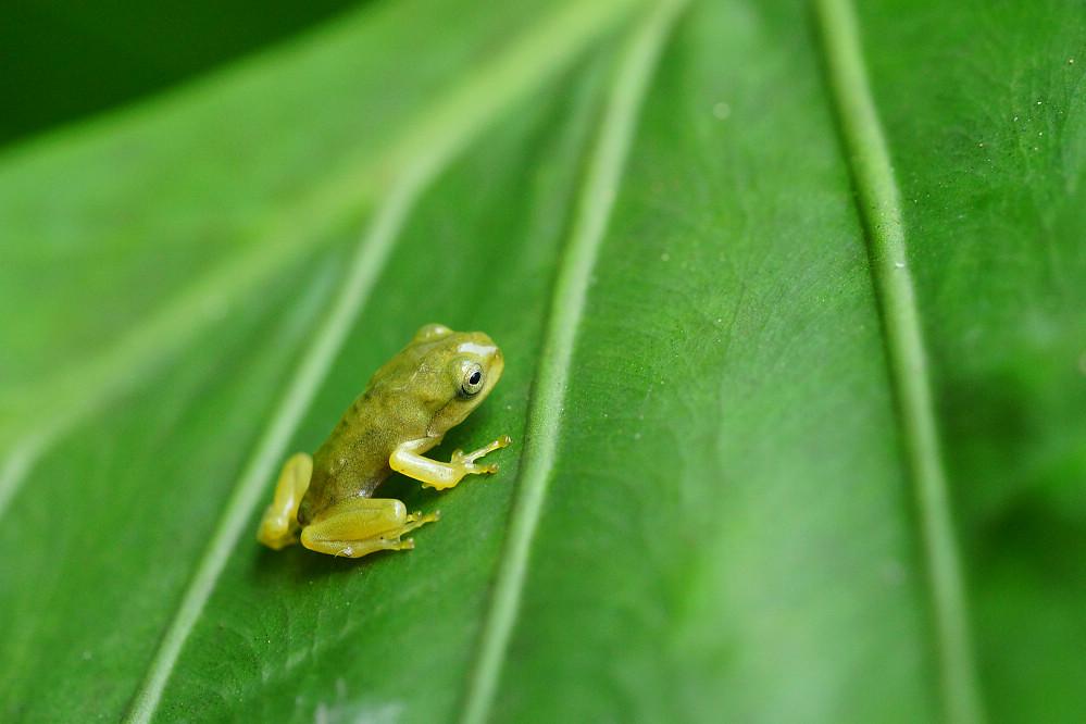 中國樹蟾幼蛙14S101