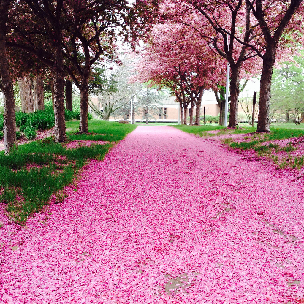 Picture of a petal-strewn walk