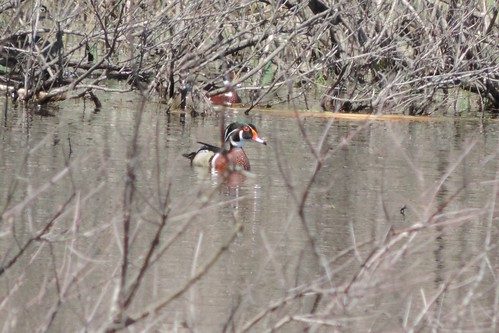 #59 Wood Duck ( Aix sponsa)