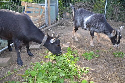 goats May 14 (7)