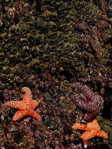 sea stars and anenomes