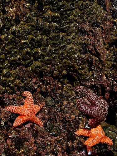 sea stars and anenomes