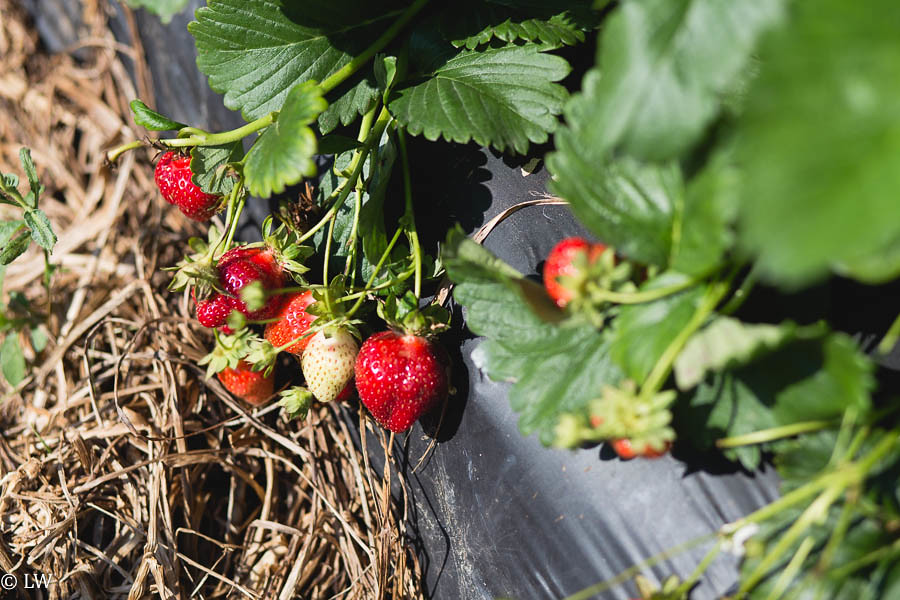 southern belle farm strawberries-19