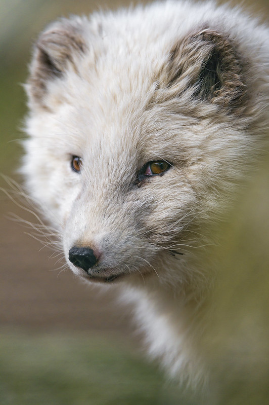 Porlar fox portrait