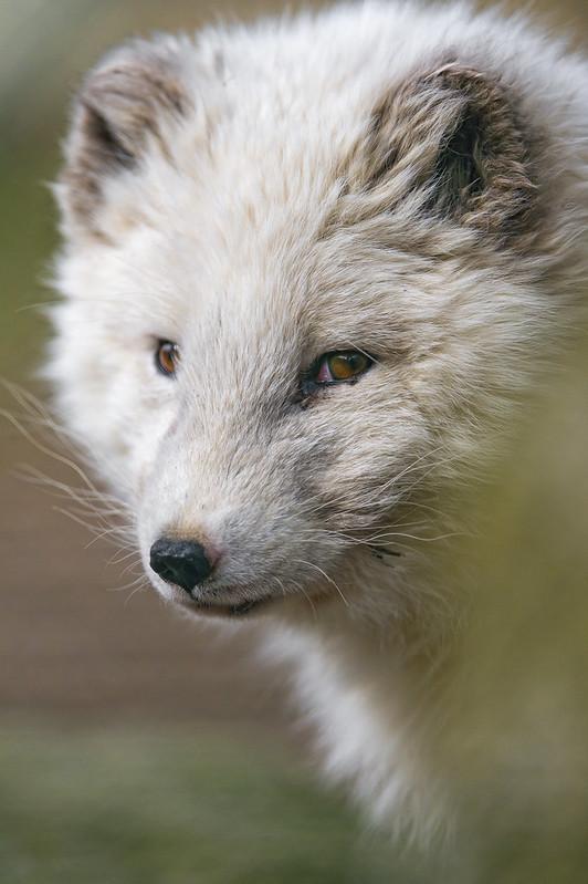 Porlar fox portrait