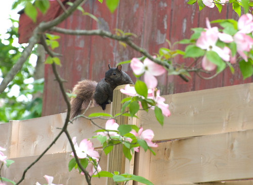 DSC_8795 black squirrel