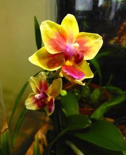 DSCN2715 Phalaenopsis