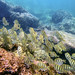Small photo of School of Convict Surgeonfish (Acanthurus triostegus)