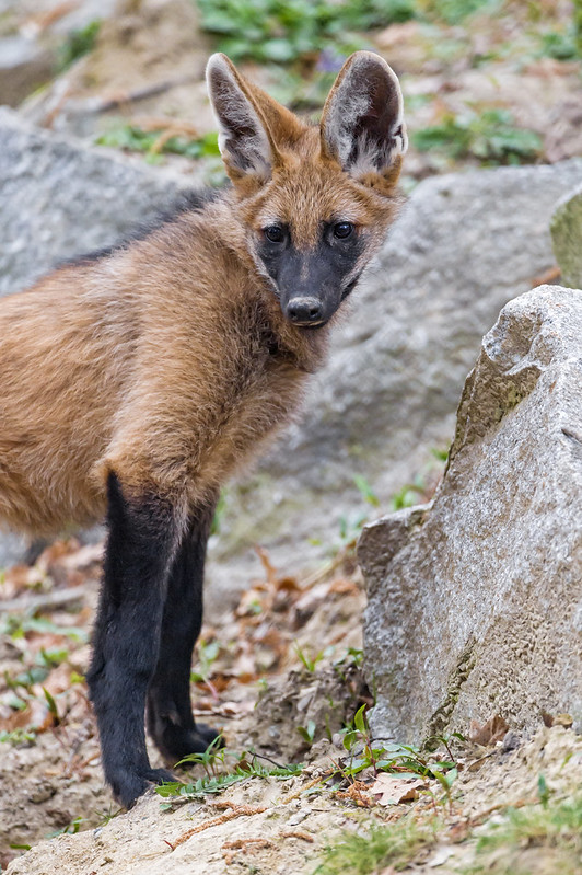 Attentive you maned wolf