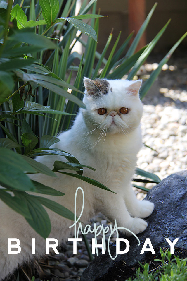 oliver the exotic shorthair, exotic shorthair cat, black and white cat