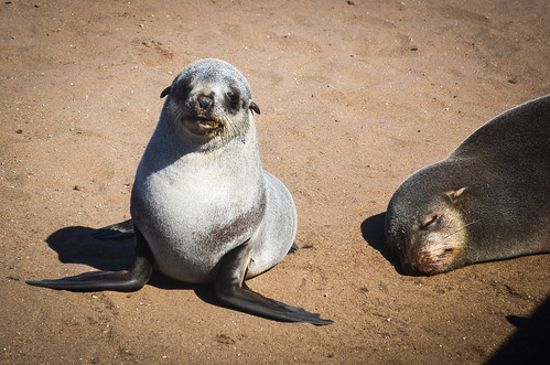 Baby Cape Fur Seal in Cape Cross, Namibia