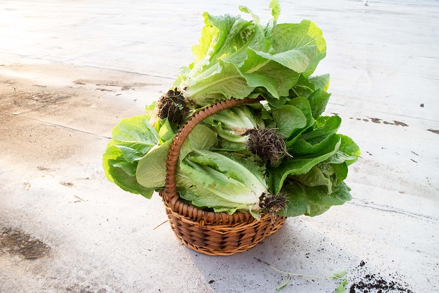 Lettuce Harvest_3