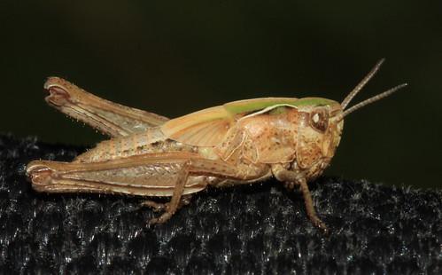 Grasshopper 29707