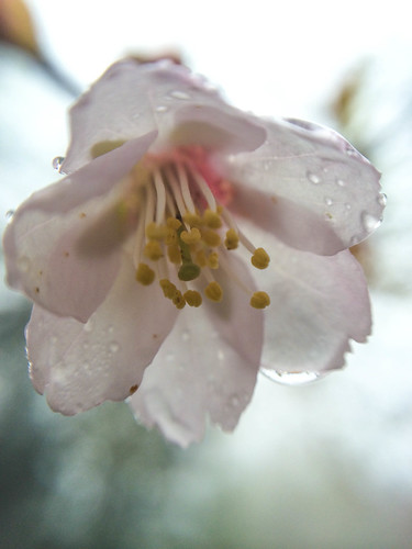 富士山五合目 2305m 6月に咲く桜
