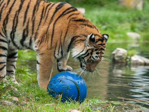 Tiger mit Ball