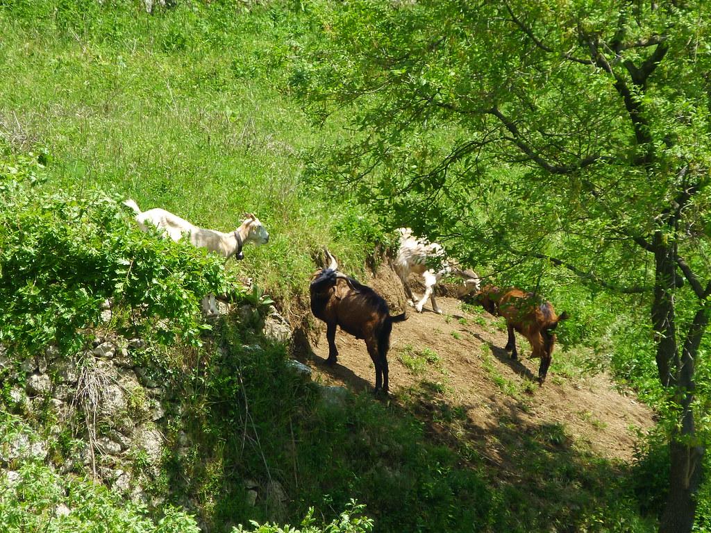 Literally, a goat trail along the mountain ridge