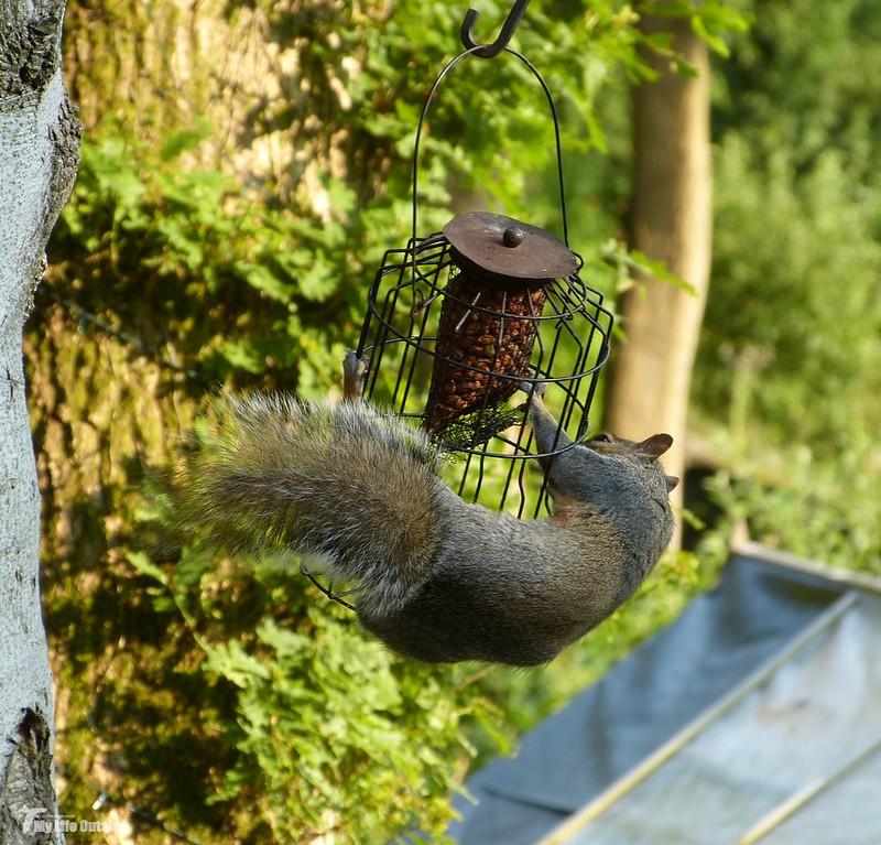 P1070959 - Squirrel, Conwy Valley