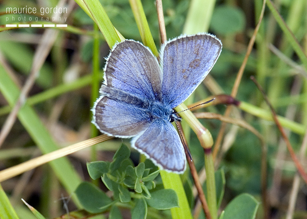 silver-studded-blue-1308