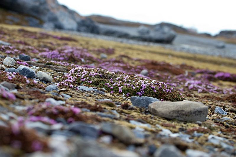 IMG_1845 purple sagifraxe