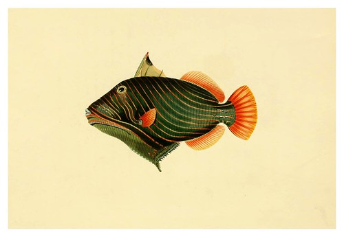 007- Balistes Aculeatus-A selection … the fishes …of Ceylon-1834 John B. Whitchurch