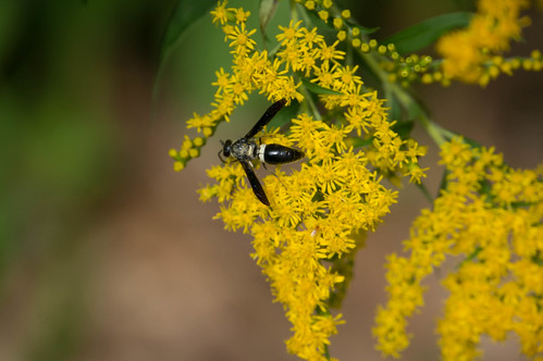 08821 Sand Wasp on Giant Goldenrod
