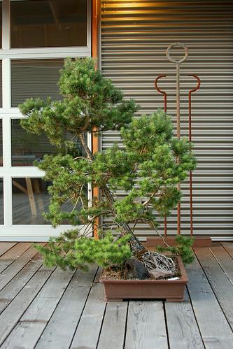 13_bonsai_4