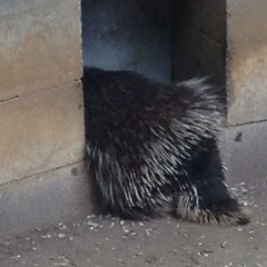 This is the most of the #porcupine I've ever seen at #beardsleyzoo