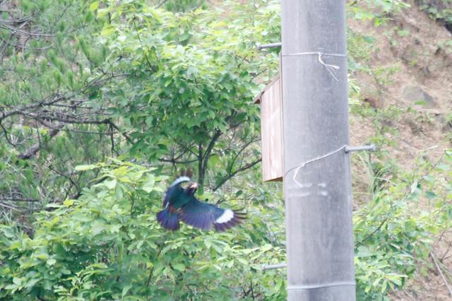 巣箱に泊まる直前の親鳥.羽がキレイ!