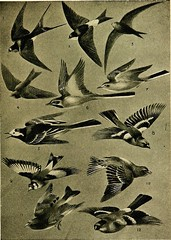 "Image from page 122 of ""Birds in flight"" (1922)"