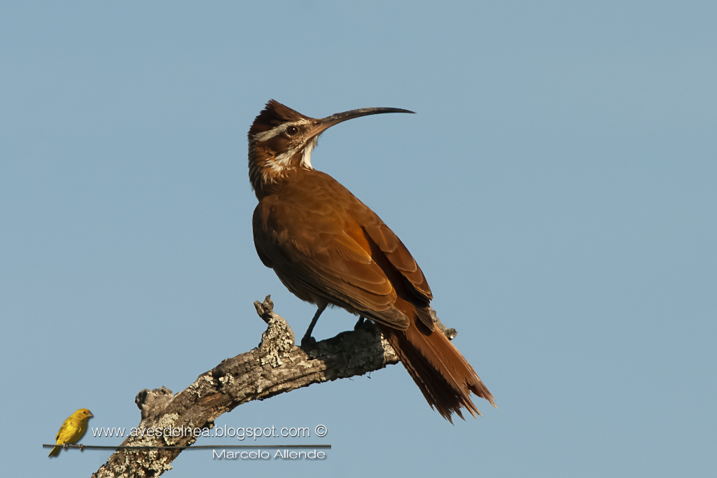 Chinchero grande, Scimitar-billed Woodcreeper, Drymornis bridgesii
