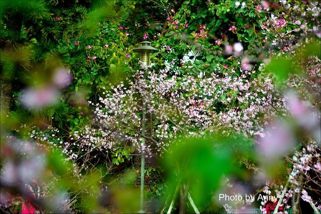 麗池櫻花22