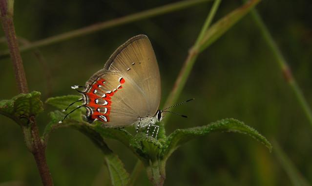 Arawacus tarania
