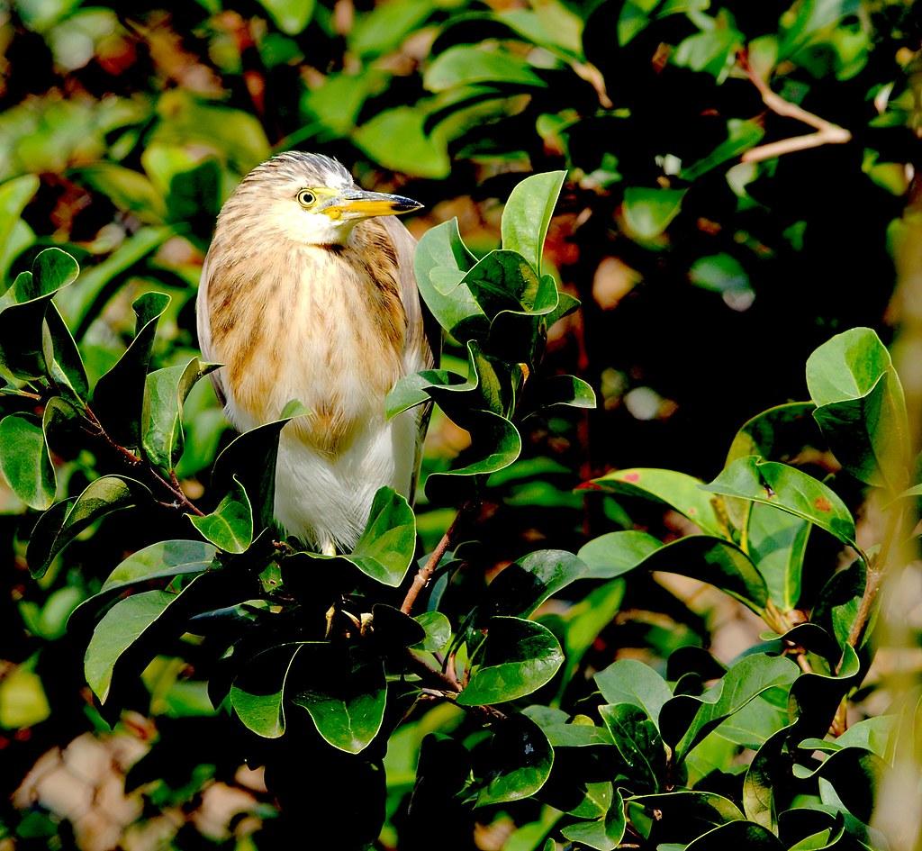 Javan Pond Heron_1