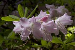 New pink rhodies_1895