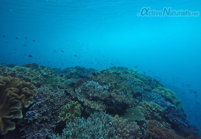 coral reef 0008 Raja Ampat, Papua, Indonesia