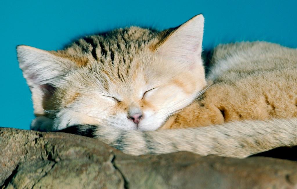 Sand Cat_2